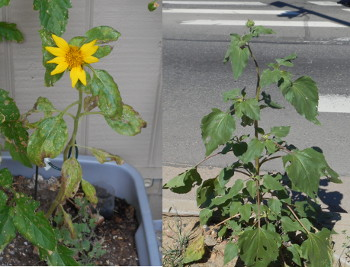 Sunflowers: Compare and Contrast