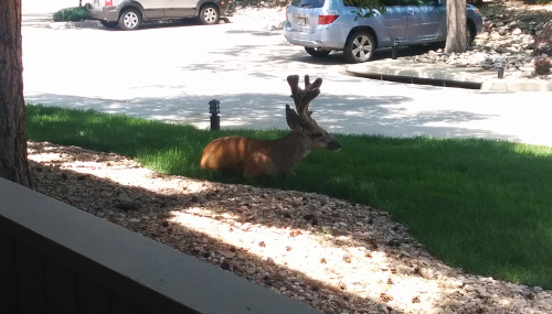 Buck chillin' on the lawn.